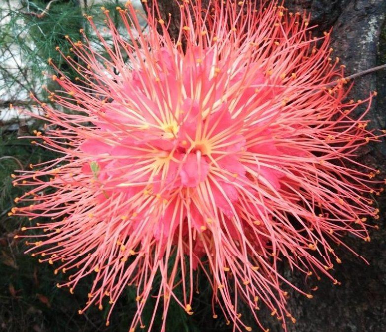 Rosso (Brounea ariza)