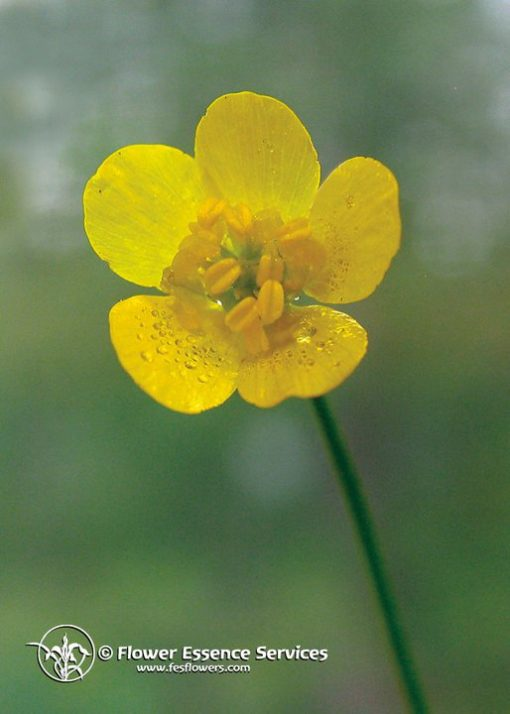 Buttercup-Ranuculus occidentalis (Frasco Tratamiento)