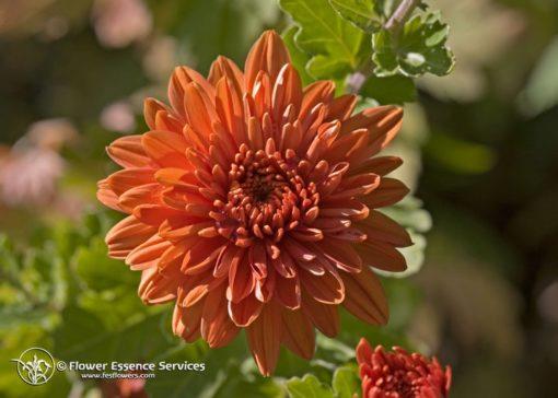 Chrysanthemum (Frasco Tratamiento)