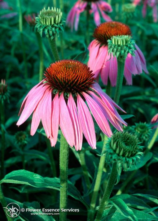 Echinacea-Echinacea Angustifolia (Frasco Tratamiento)
