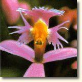 ORQUÍDEA COMUNICACIÓN CON LOS ANGELES (Epidendrum secundum)