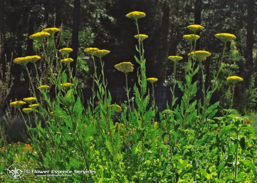 Golden Yarrow-Achilea Clytedata (Frasco Tratamiento)