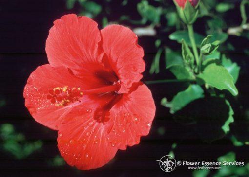 Hibiscus (Frasco Tratamiento)
