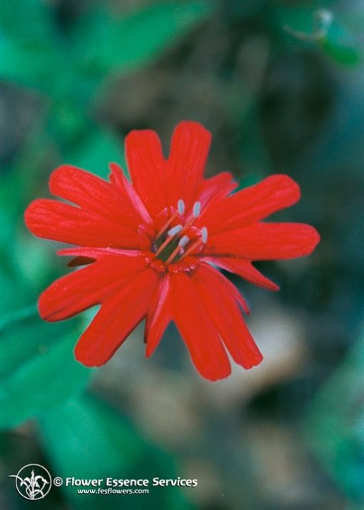 Indian Pink-Silene Californica (Frasco Tratamiento)