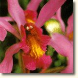 ORQUIDEA SER SUPERIOR (Laeliocattleya anceps clara)