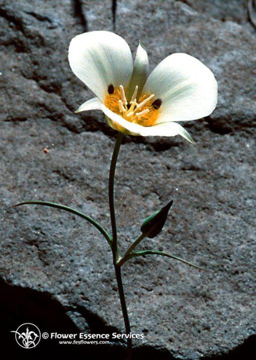 Mariposa Lily-Calochortus Leichtinii (Frasco Tratamiento)ió