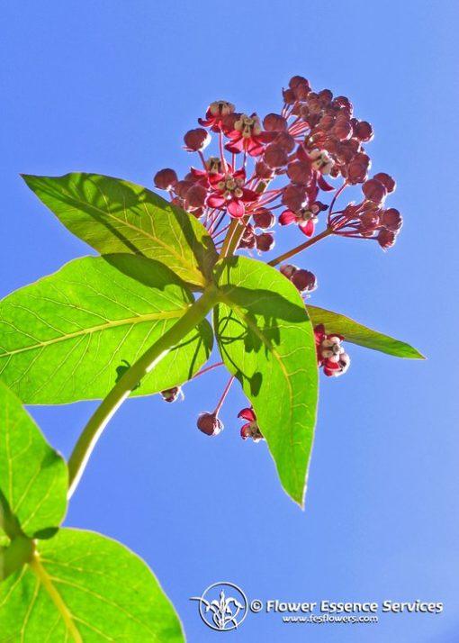 Milkweed-Asclepias Cordifolia (Frasco Tratamiento)