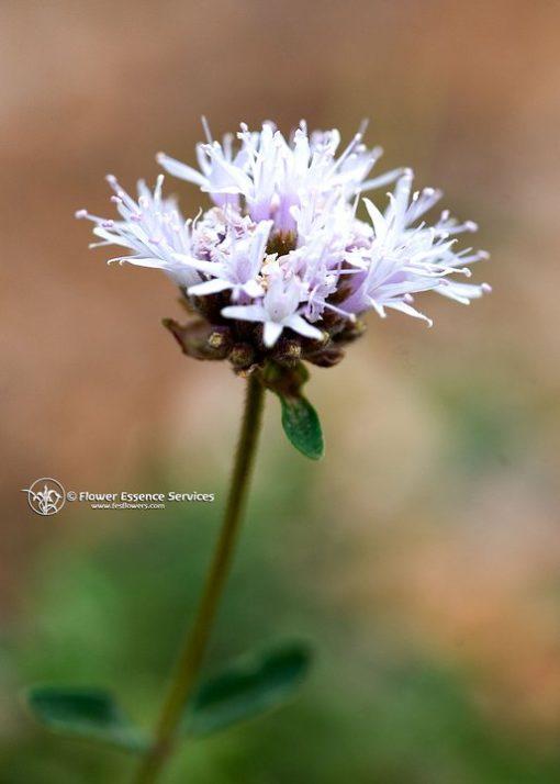 Mountain Pennyroyal-Monardella Odoratissima(Fr.Tratamiento)