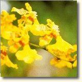 ORQUÍDEA AMOR (Oncidium abortivum)