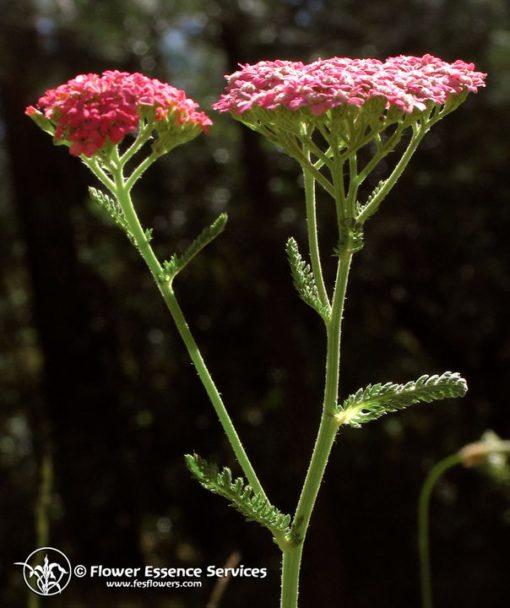 Pink Yarrow-Achillea Mllefolium (Frasco Tratamiento)