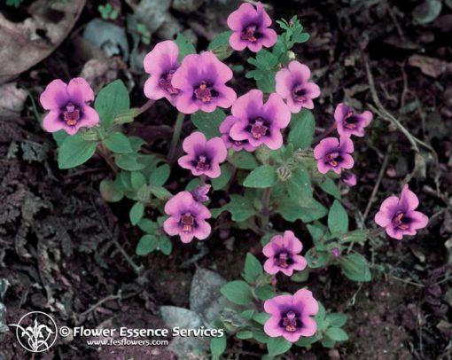 Purple Monkeyflower (Frasco Tratamiento)