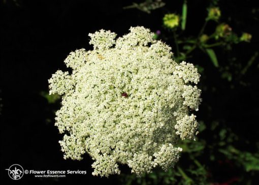 Queen Anne`s Lace (Frasco Tratamiento)