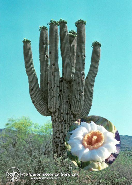 Saguaro (Frasco Tratamiento)