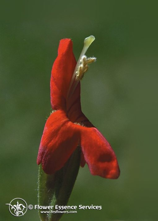 Scarlet Monkeyflower (Frasco Tratamiento)
