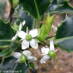 Acebo (ilex aquifolium) HOLLY