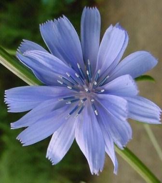 Achicoria (Cichorium intybus) Chicory