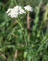 Achilea - Achilea Millefolium