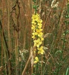 Agrimonia (Agrimonia eupatoria) AGRIMONY