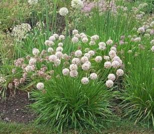 Ajo Salvaje (Allium angulosum)