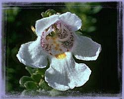 Alpine Mint Bush – Prostanthera cureata