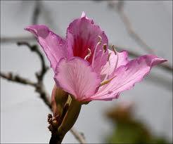 Arbol de judas - Cercis Siliquatrum
