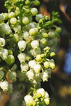Arbutus (arbutus mensiesii)