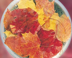 Autumn Leaves (Hojas de Otoño)