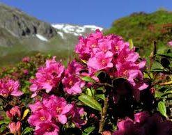 Azalea - Rhododendrom Ferrugineum