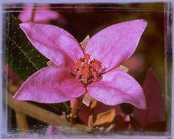 Boronia – Boronia ledifolia