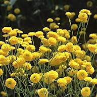 Boton de oro (Ranunculus Acris)