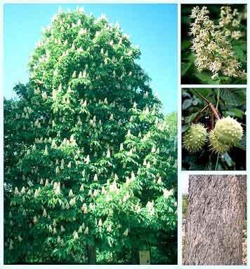Brote de Castaño (Aesculus hippocastanum) CHESTNUT BUD