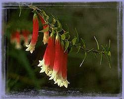 Bush Fucshia-Epacris Longiflora
