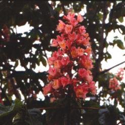Castaño Rojo (Aesculus carnea) RED CHESTNUT