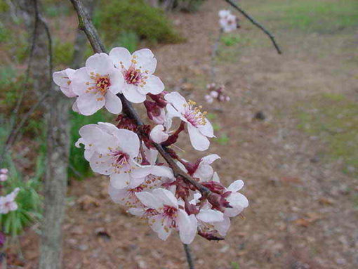 Cerasifera (Prunus cerasifera) CHERRY PLUM