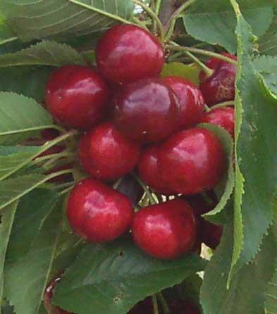 Cereza (Cherry)