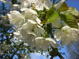 Cerezo - Prunus avium
