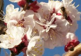 Damasco – Prunus armeniaca