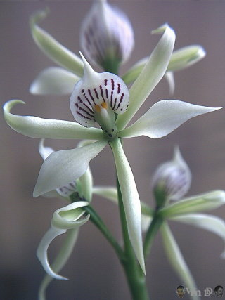 ORQUÍDEA AURORA (Epidendrum fragans)