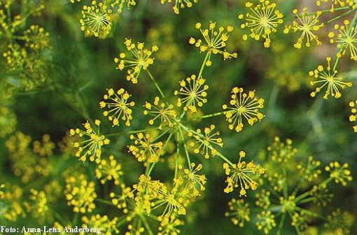 Eneldo (Anethum Graveolens)