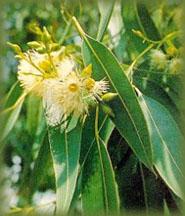 Eucalipto (Eucaliptus globulus)