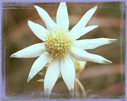 Flannel Flower - Actinotus Helianthi