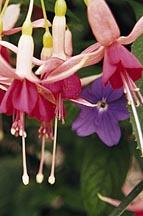 Fuchsia Pacifico (fuchsia)