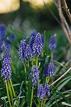 Grape Hyacinth (muscari racemosum)