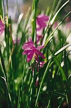 Grass Widow (sisyrinchium douglasii)