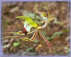 Green Spider Orchid - Caladenia dilatato
