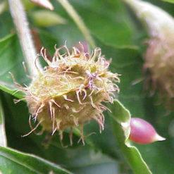 Haya (Fagus sylvatica) Beech