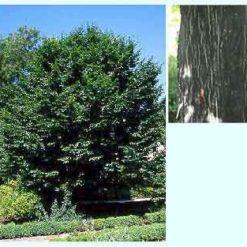 Hojarazo (Carpinus betulus) HORNBEAN