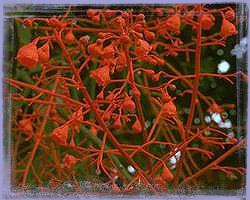 Illawarra Flame Tree - Brachychiton acerifolius