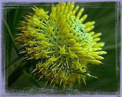 Isopogon - Isopogon Anethifolis
