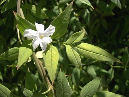 Jazmin (Jasminum officinalis)